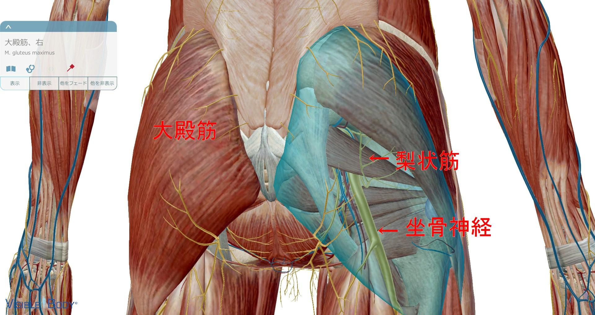 梨状筋解剖